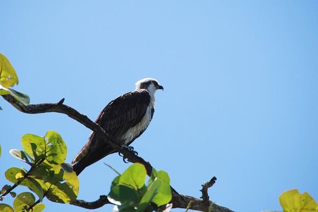 Juvenile Osprey No 2 4-8-16