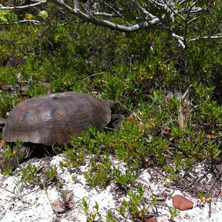 Gopher Tortoise 4-3-16