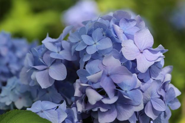 河口湖ハーブフェスティバル 八木崎公園の紫陽花