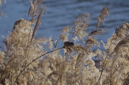 師走の児島湖周辺のオオジュリン