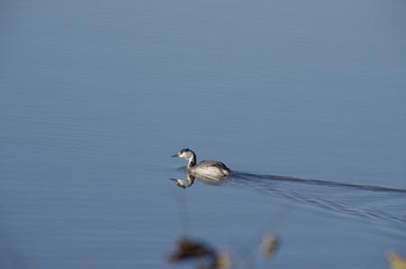 師走の児島湖のカンムリカイツブリ