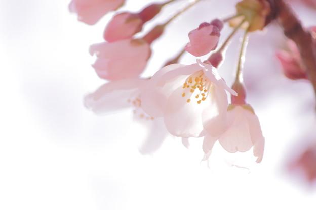 写真: さくらが咲いたよ