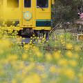 写真: いすみと菜の花