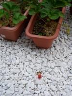 鳥に食べられた苺