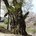 古木 樹齢800年