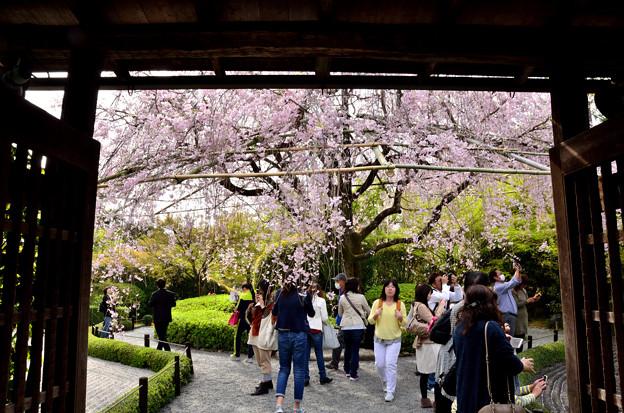 2016_0409_151027_紅枝垂れ桜