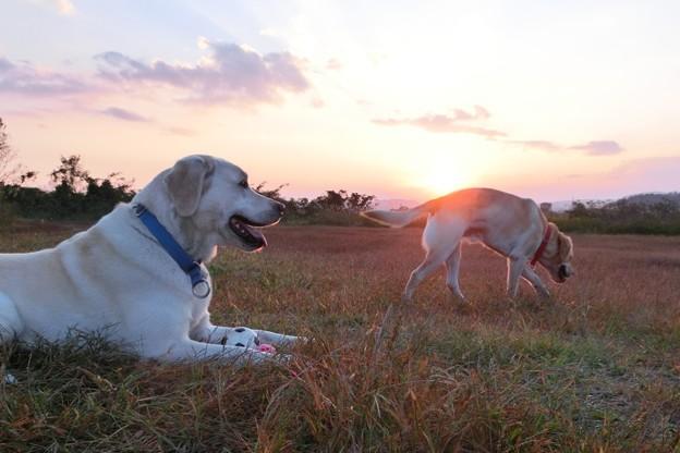 夕日と兄弟わんこ