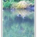 写真: 水辺の鴨