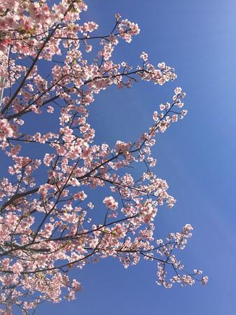 近所の緋寒桜01