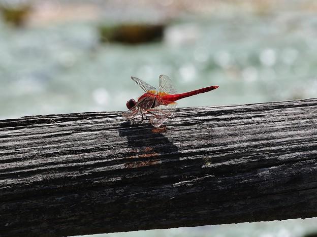 昆虫>>:ショウジョウトンボIMG_2621