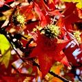 秋色~アメリカフウ