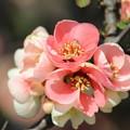 Photos: 華やかに咲きほころぶ