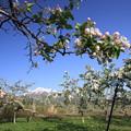 Photos: りんご畑のりんご花と岩木山