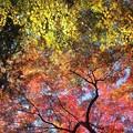 Photos: PC017647s見上げれば紅葉の空