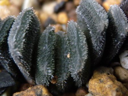 H.truncata minor