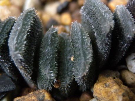 写真: H.truncata minor