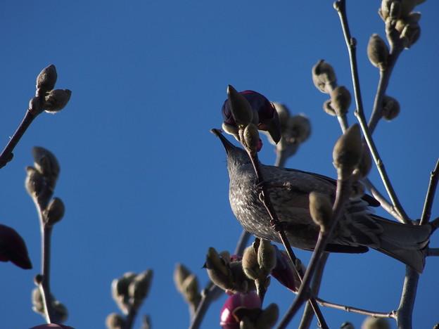 紫木蓮を啄む