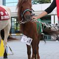写真: 木曽馬のミカン(15/10/03・中山競馬場)