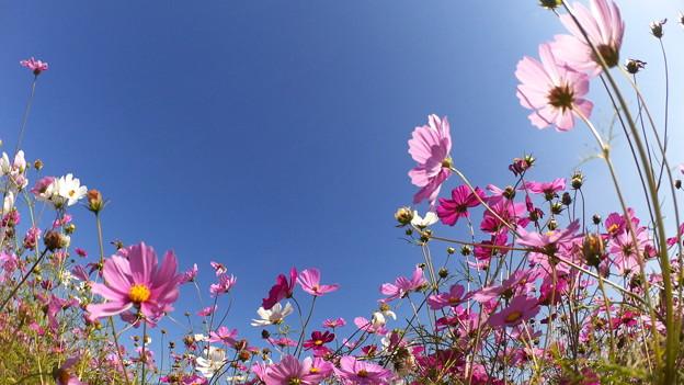 まだまだきれいなコスモスの花_01