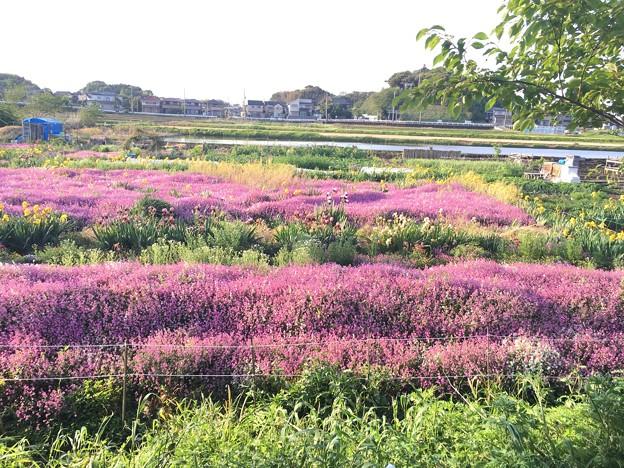 シレネの大規模花壇