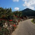 Photos: 彼岸花が彩る道