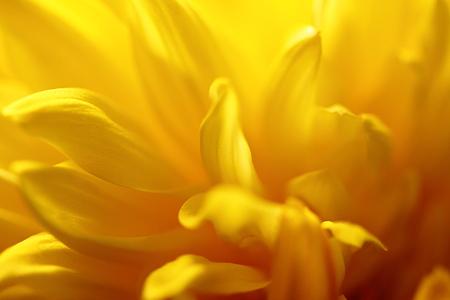 菊の花びら
