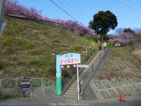 160226-松田町 河津桜 (193)