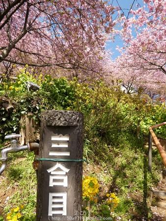 160226-松田町 河津桜 (21)