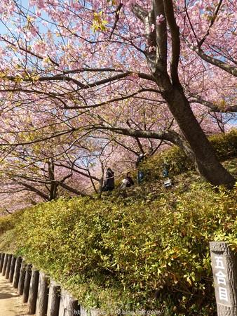 160226-松田町 河津桜 (39)