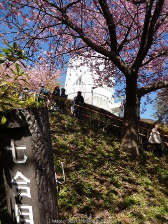 160226-松田町 河津桜 (44)