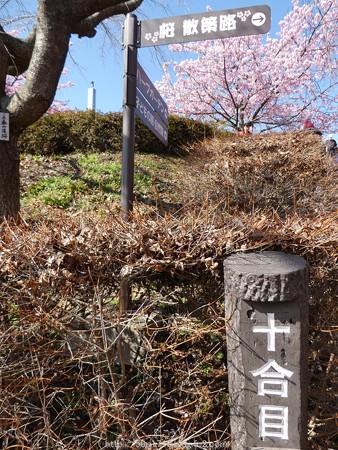 160226-松田町 河津桜 (55)