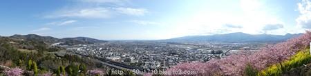 160226-松田町 河津桜 (89)
