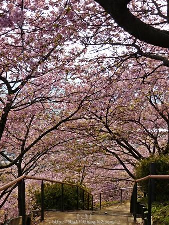 160226-松田町 河津桜 (162)