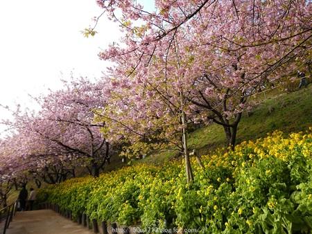 160226-松田町 河津桜 (177)