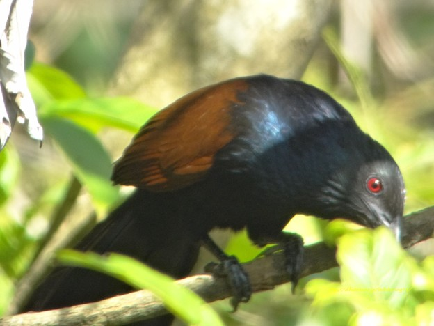 SouthernCoucal5248signed