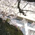 Photos: sakura (2)