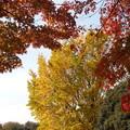 光が丘公園イチョウと紅葉