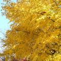 黄色に黄葉するモミジ