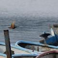 飛翔するカワセミ