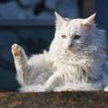 Photos: もふもふノラ猫