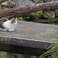 Photos: 忍野八海の猫