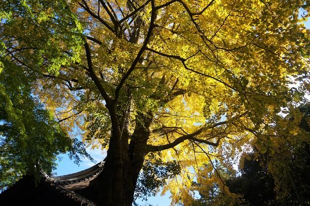 Photos: 三渓園の大銀杏2