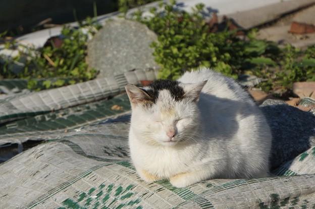 沖島の猫5