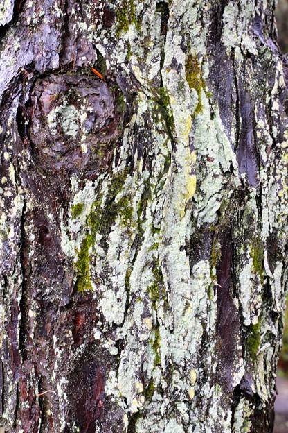 木の表情1_豪徳寺160407