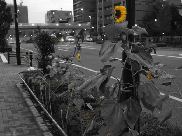 たくましい向日葵