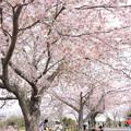 Photos: さくらの山の桜