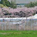 桜の下のYS-11