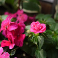 写真: 八重咲きインパチェンス カルフォルニアローズ スターダストピンク