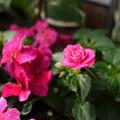 Photos: 八重咲きインパチェンス カルフォルニアローズ スターダストピンク