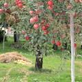リンゴ園05-15.09.29